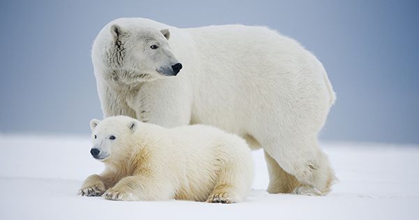 Protect Polar Bears from Seismic Testing