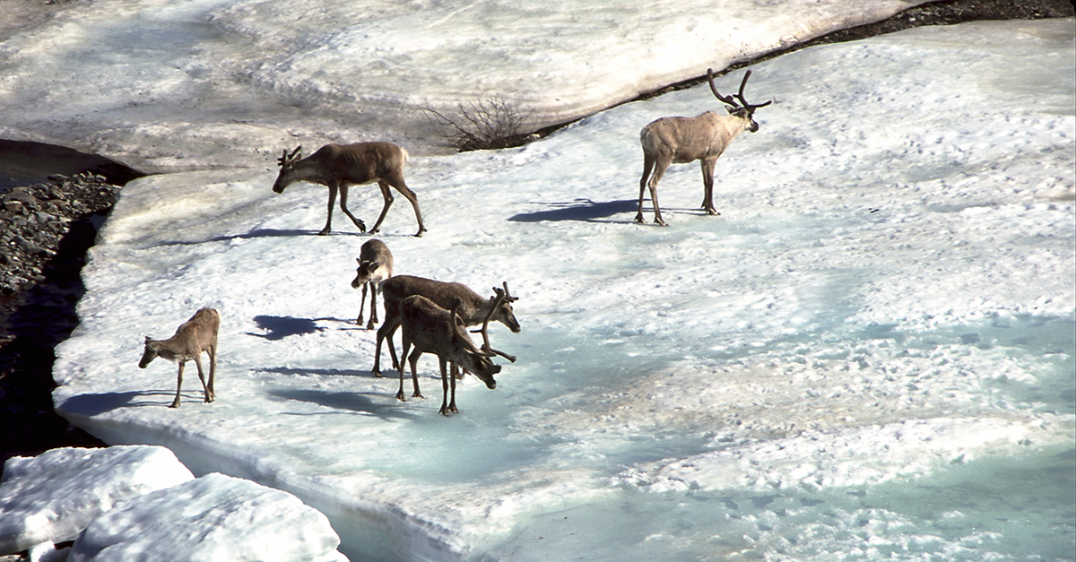 Oil and gas leasing in the Arctic National Wildlife Refuge