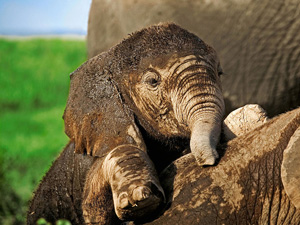 Elephant Baby Wallpaper