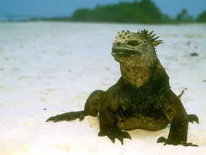 Wallpaper Marine Life - iguana wallpaper