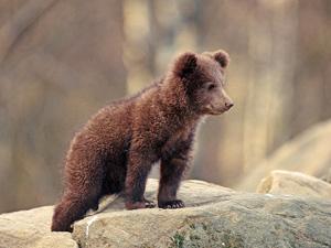 Baby brown bear - photo#14