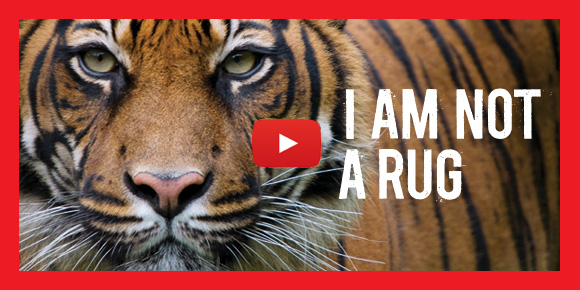 Stop Wildlife Crime: Tiger video