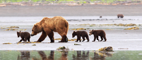Bears in Katmai