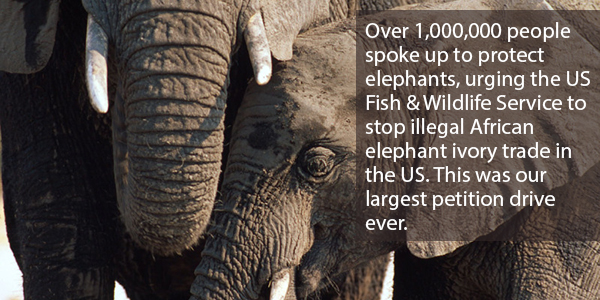 Over 1,000,000 people spoke up to protect elephants, urging the US Fish & Wildlife Service to stop illegal African elephant trade in the US. This was our largest petition drive ever.