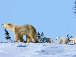 polar bear and cubs wallpaper