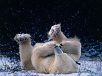 Polar Bear Cubs Wallpaper
