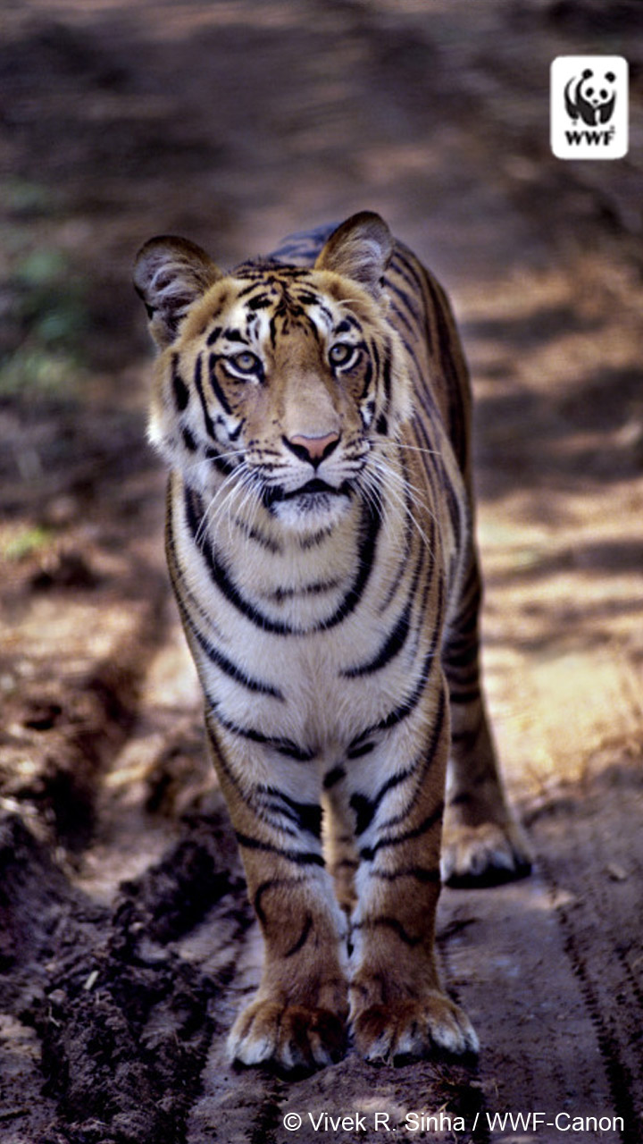 Wonderful Wallpaper Mobile Tiger - 257430_Tiger2_720x1280-Android_copy  HD_168498.jpg