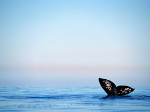 Wallpaper Marine Life - gray whale wallpaper