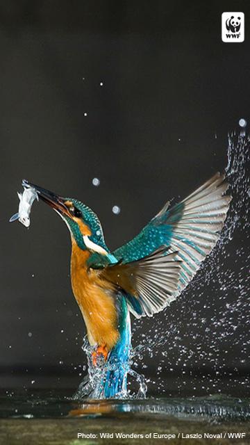 Kingfisher For Samsung Galaxy