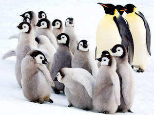 emperor penguin chicks wallpaper