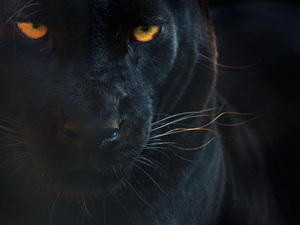 Black Leopard wallpaper