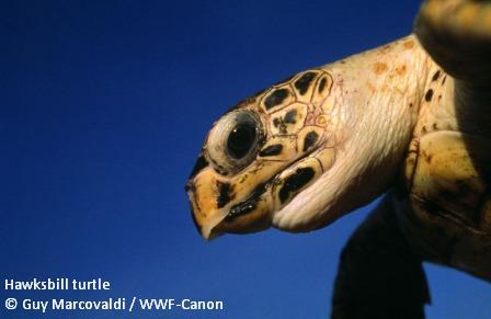 Hawksbill turtle - face