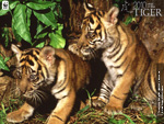 Tiger Cubs Wallpaper