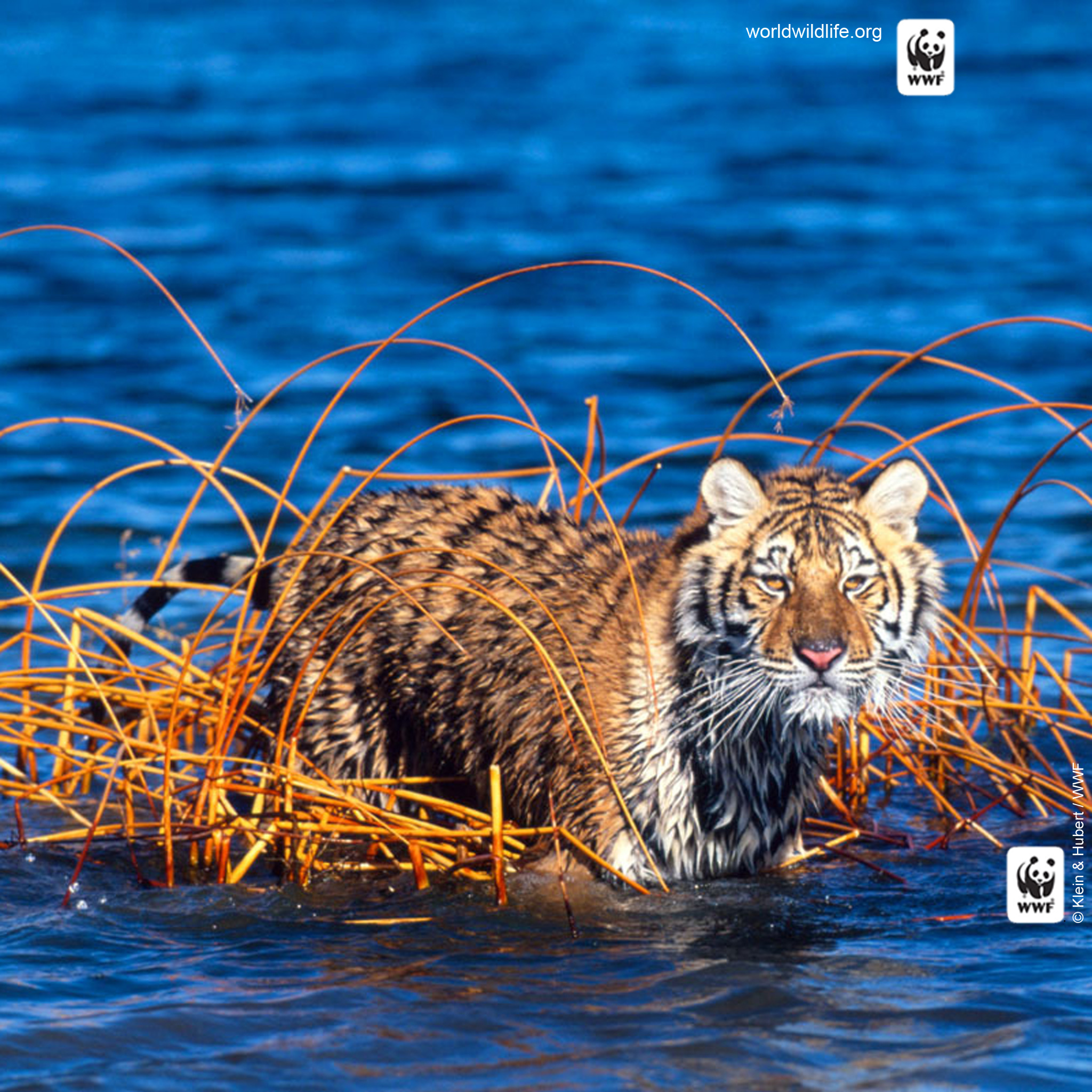 Tiger Mobile Wallpaper Wwf World Wildlife Fund