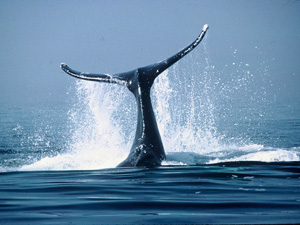 Wallpaper Marine Life - whale wallpaper