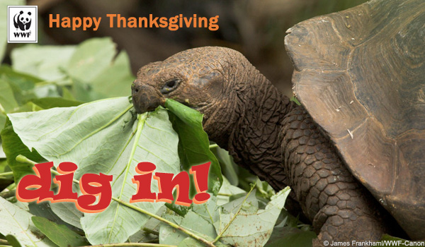 Thanksgiving Ecard - Tortoise