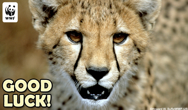 Occasion Ecard Good Luck Cheetah