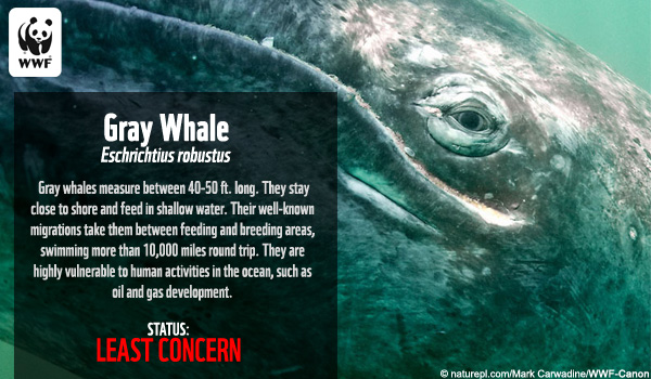 Species Ecard Gray Whale