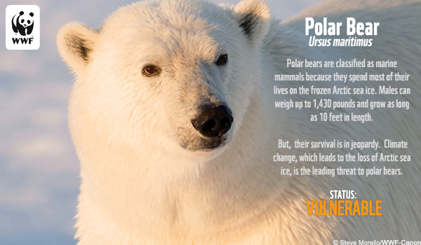 Species Ecard Polar Bear