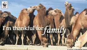 thanksgiving_thankfulcamels_smallecard