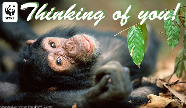 Occasion Ecard Chimp_thinking_of_you