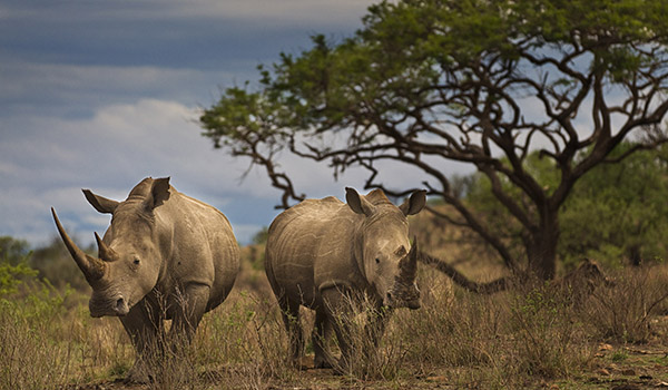 Take action now to save rhinos
