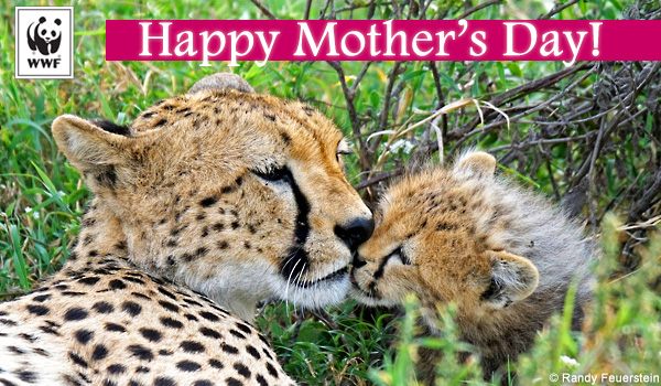 mothers day ecard cheetah