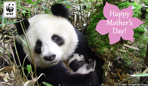 Mother's Day ecard panda