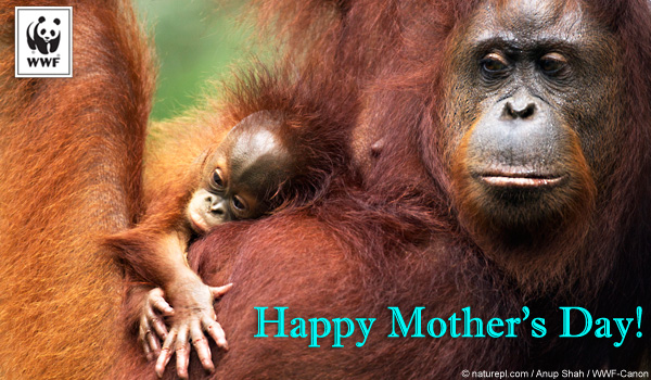 Mother's Day orangutan ecard
