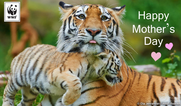 Mothers Day ecard tigers