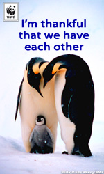 Thanksgiving Ecard - Penguin