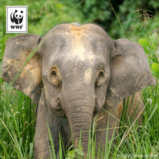 Right click on the Asian elephant image to Save Picture As
