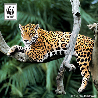 Right click on the Jaguar image to Save Picture As