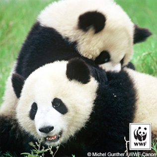 Right click on the Giant Pandas image to Save Picture As