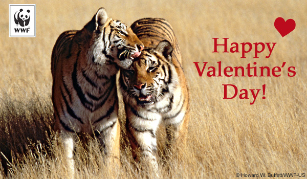 Valentine's Day donation ecard tiger