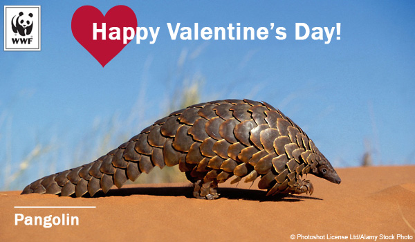 Valentine's Day donation ecard pangolin